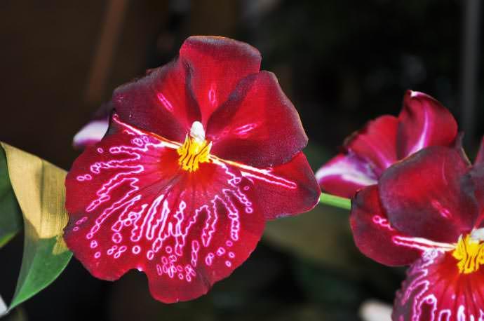 Лепестки цветков орхидеи «Мильтония» обладают изящными рисунками, напоминающими крылья экзотических бабочек